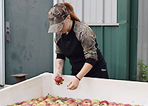 Sorting apples to make cider